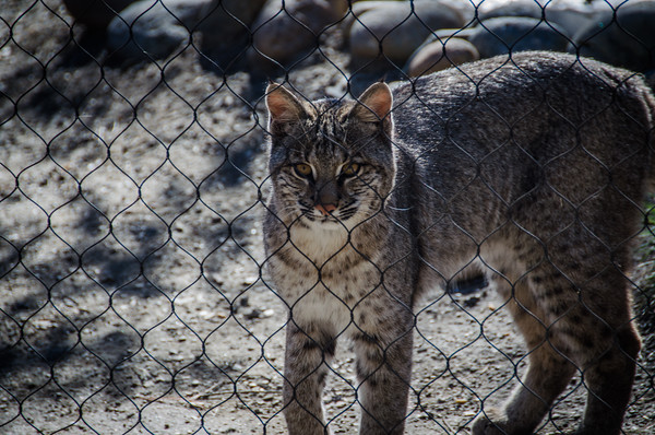 Bobcat at Turtle Bay Exploration Park