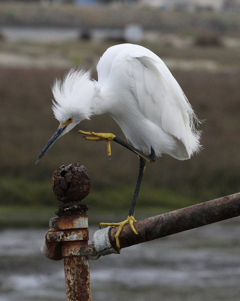 Snowy egret, flood control channel next to Robb Field, Ocean Beach CA 2-12-12