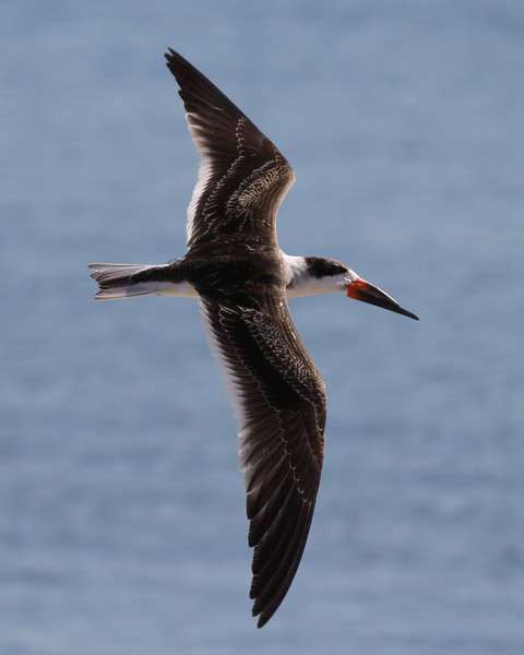 Skimmer at Crown Point, Pacific Beach San Diego, 1-26-12.