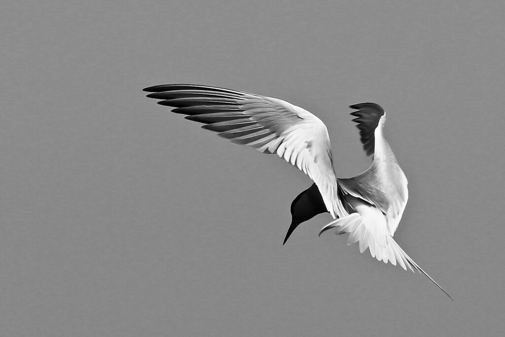 A Forster's (?) tern, taken at the channel next to Robb Field 5-16-12.