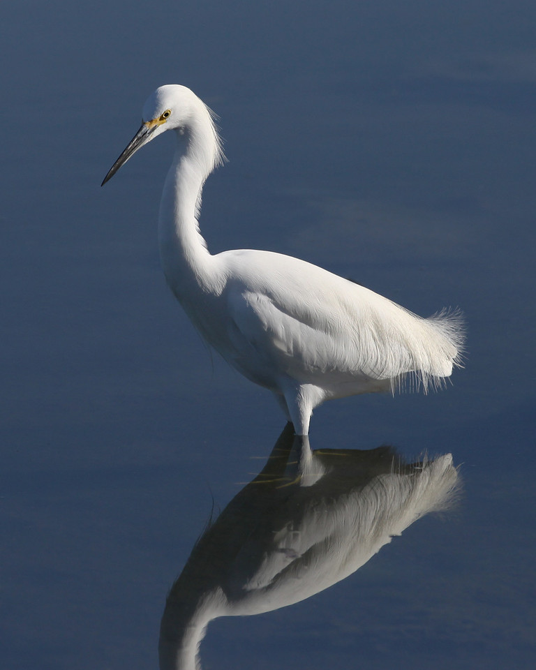 Snowy egret, flood control channel next to Robb Field 1-26-12.
