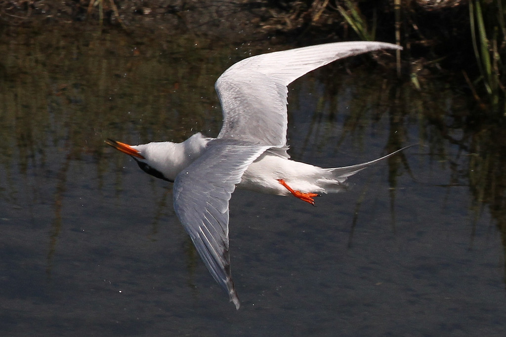 A tern, turning.  I didn't even know I got this shot until I downloaded it from the camera.  I'm as amazed as you are.  I'm not very good at identifying birds, but I believe this is a Forster's tern.  Taken at the channel next to Robb Field on 5-16-12.
