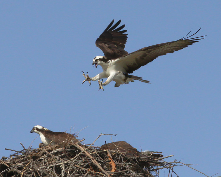 Osprey, Robb Field Ocean Beach, 2-28-12.