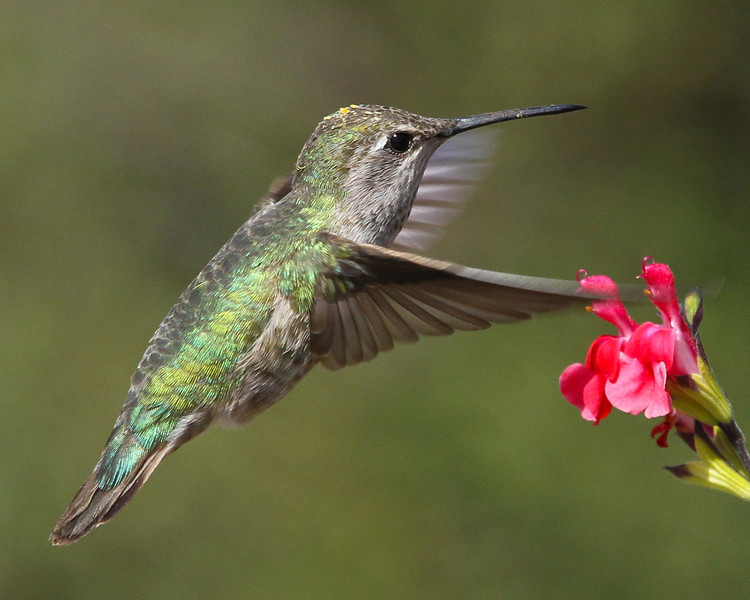 Hummingbird in Paso Robles, CA