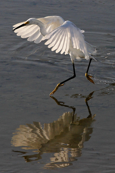 Snowy egret, flood control channel next to Robb Field, 8-7-12