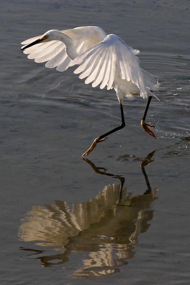 Snowy egret, flood control channel next to Robb Field, 8-7-12