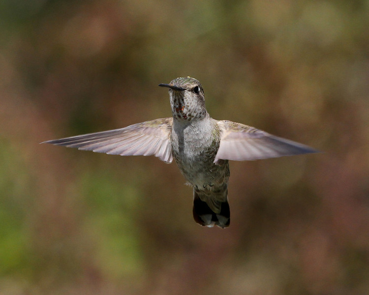 Hummingbird in Paso Robles, CA.
