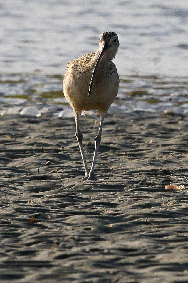 Long billed curlew, flood control channel in Ocean Beach, CA, May 5, 2012.