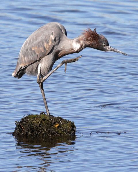 Reddish egret, flood control channel near Robb Field, Ocean Beach, CA, 1-6-12.