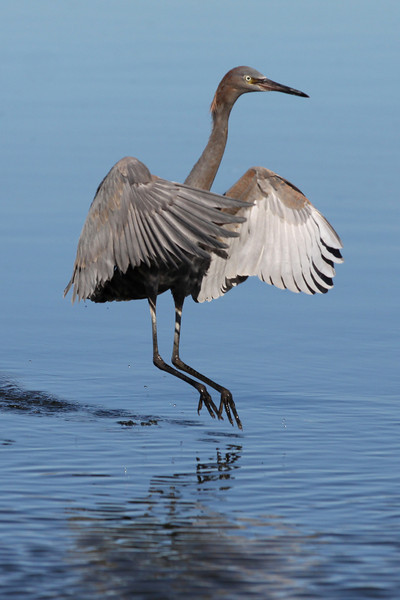 Reddish egret, flood control channel next to Robb Field 1-26-12.