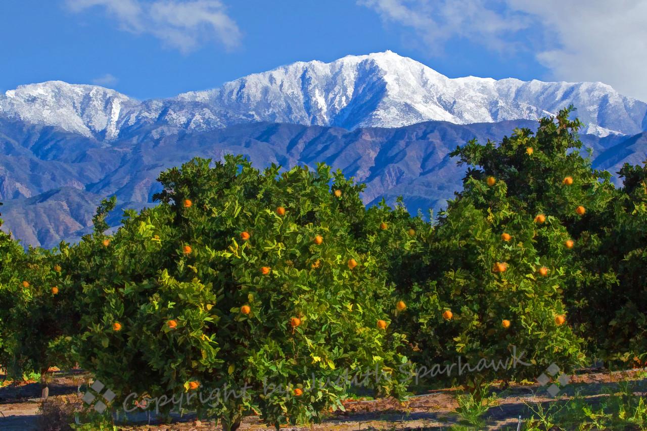 Orange Groves in Winter