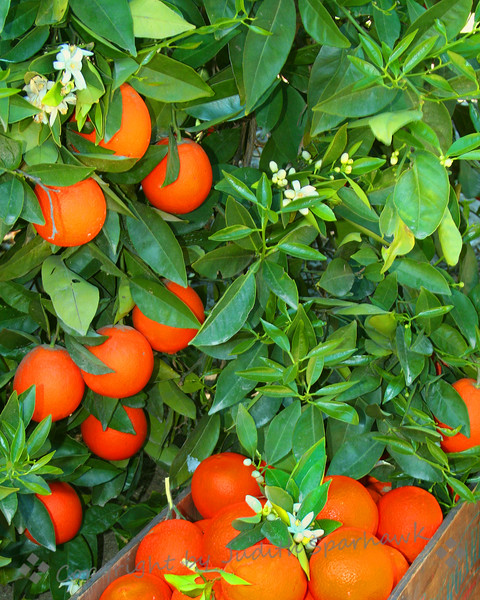 Grove Harvest ~
