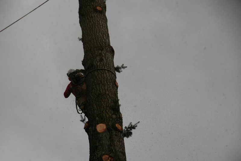This is Martin the arborist cutting out a wedge.