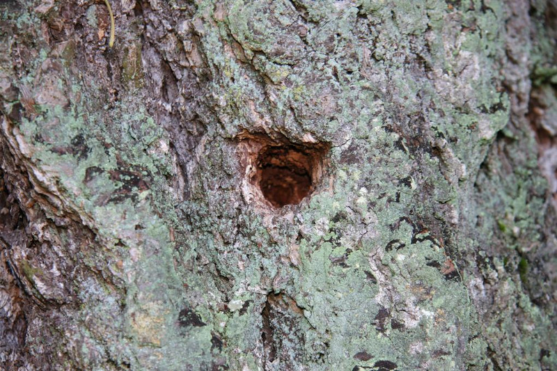Insects boring into woodpecker holes