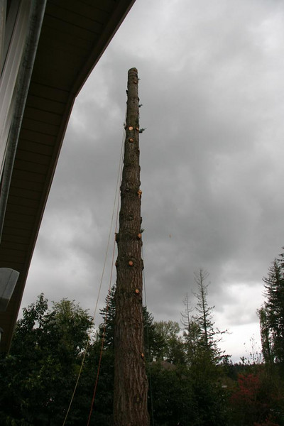 I had to leave for an appt.  In 2 1/2 hours time, Old Doug was a tall, tall stump.