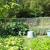 Zucchini on Rose Fertilizer 2.JPG