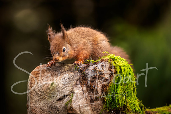 2021 03 11 - red squirrel shoot - 0018