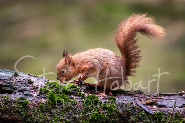 2021 03 11 - red squirrel shoot - 0009