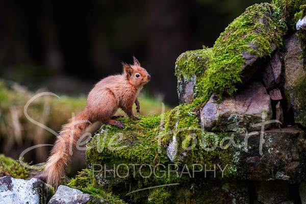 2021 03 11 - red squirrel shoot - 0016