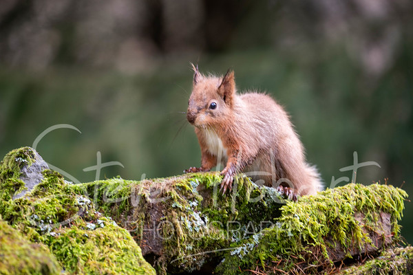 2021 03 11 - red squirrel shoot - 0013