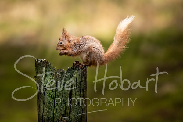 2021 03 11 - red squirrel shoot - 0008