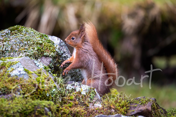 2021 03 11 - red squirrel shoot - 0015