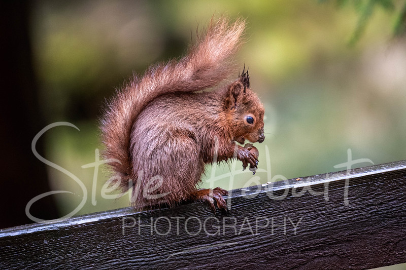 2021 03 11 - red squirrel shoot - 0010