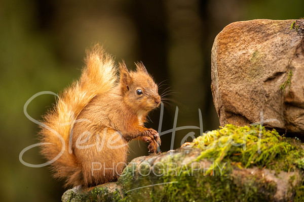 2021 03 11 - red squirrel shoot - 0017