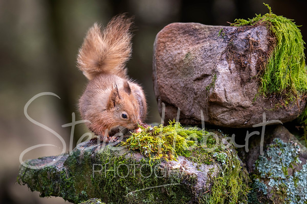 2021 03 11 - red squirrel shoot - 0012