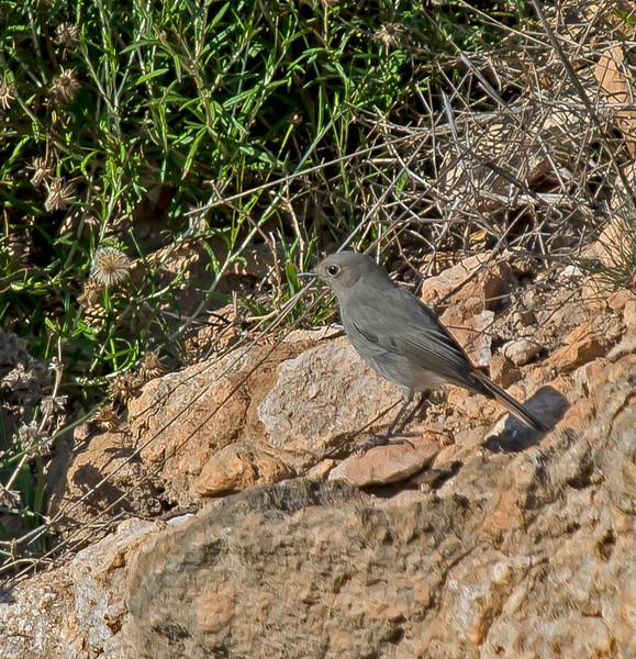 Phoenicurus phoenicurus (female)