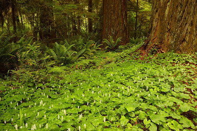 Forest Floor Redwood National Park California