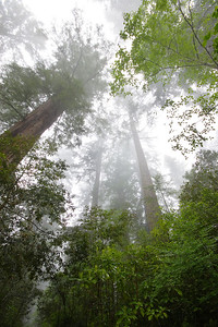 Towering Redwoods Redwood National Park California