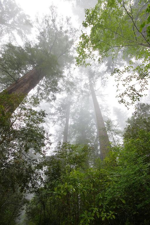 Towering Redwoods Redwood National Park California