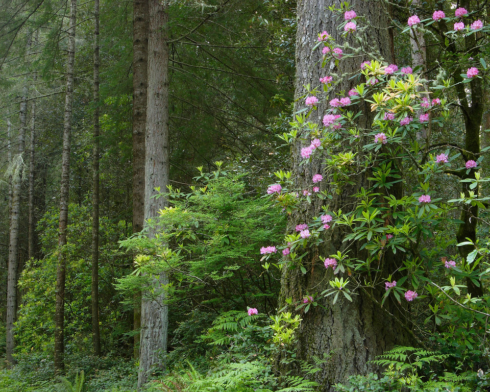 Rhododendrons and Redwood