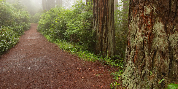 Pathway in Morning Fog Redwood National Park California