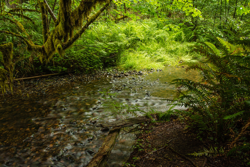 Redwood Forest Stream