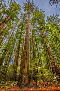 """Redwood Skyline,"" Redwood National and State Parks, California"