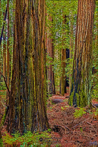 """The Redwood Path,"" Redwood National and State Parks, California"
