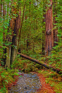 """Elegant Beauty,"" Redwood National and State Parks, California"