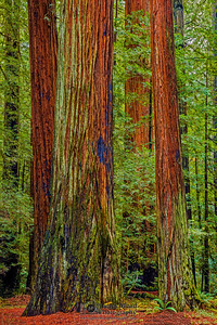 """Wisdom and Youth,"" Redwood National and State Parks, California"