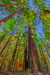 """Forest Skyview,"" Redwood National and State Parks, California"