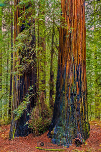 """The Test of Time,"" Redwood National and State Parks, California"