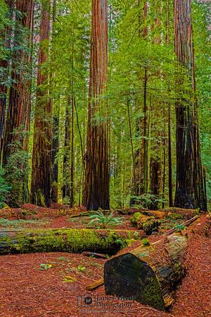 """""""The Forest Bench,"""" Redwood National and State Parks, California"""