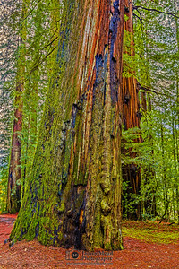 """The Leaning Giant,"" Redwood National and State Parks, California"