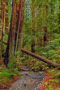 """Through the Redwoods,"" Redwood National and State Parks, California"