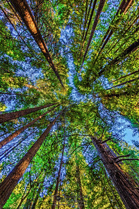 """Redwood Canopy,"" Redwood National and State Parks, California"