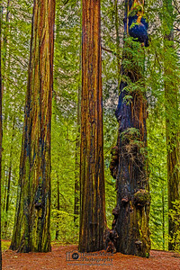 """The Three Sages,"" Redwood National and State Parks, California"