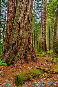 """Forest Twilight,"" Redwood National and State Parks, California"