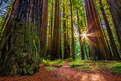 """Sunshine Through the Giants,"" Redwood National and State Parks, California"