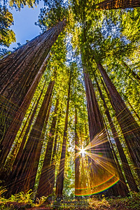 """Sunshine Through the Canopy,"" Redwood National and State Parks, California"